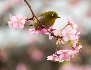 桜うぐいす.jpg